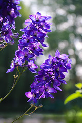 Giverny Blue Delphinium (fuzzball5) Tags: giverny france claude monet blue delphinium flower