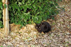 Today's Cat@2017-03-26 (masatsu) Tags: cat thebiggestgroupwithonlycats catspotting pentax mx1