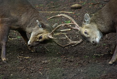 Visayan spotted deer (Chris Royle2) Tags: visayan spotted deer zooanimals edinburghzoo