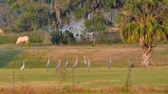 O1K_4969 (68photobug) Tags: 68photobug nikon d7000 sigmadg 150500mm polkcounty centralflorida usa birds outmybackdoor cranes sandhillcranes flight