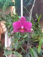20170128_123310 (Rodrigo Ribeiro) Tags: flower flores nature natureza jardim jardinagem backyard garden gardening