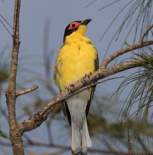 Australasian Yellow Figbird (Sphecotheres vieilloti flaviventris) (male) (23 centimetres)