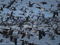 IMG_0002 (Marko_J_Aho) Tags: bird hakalanniemi valkoposkihanhi vanhankaupunginlahti
