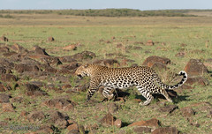 Strolling leopard! (Jambo53 (back and catching up)) Tags: leopard strolling luipaard jambo53 robertkok nature wildlife masaimara kenya eastafrica pantherapardus rocks stenen siri roofdier predator mammal zoogdier inthewild nikond800 7030045 wwwrobertkokphotographycom olare narokcounty