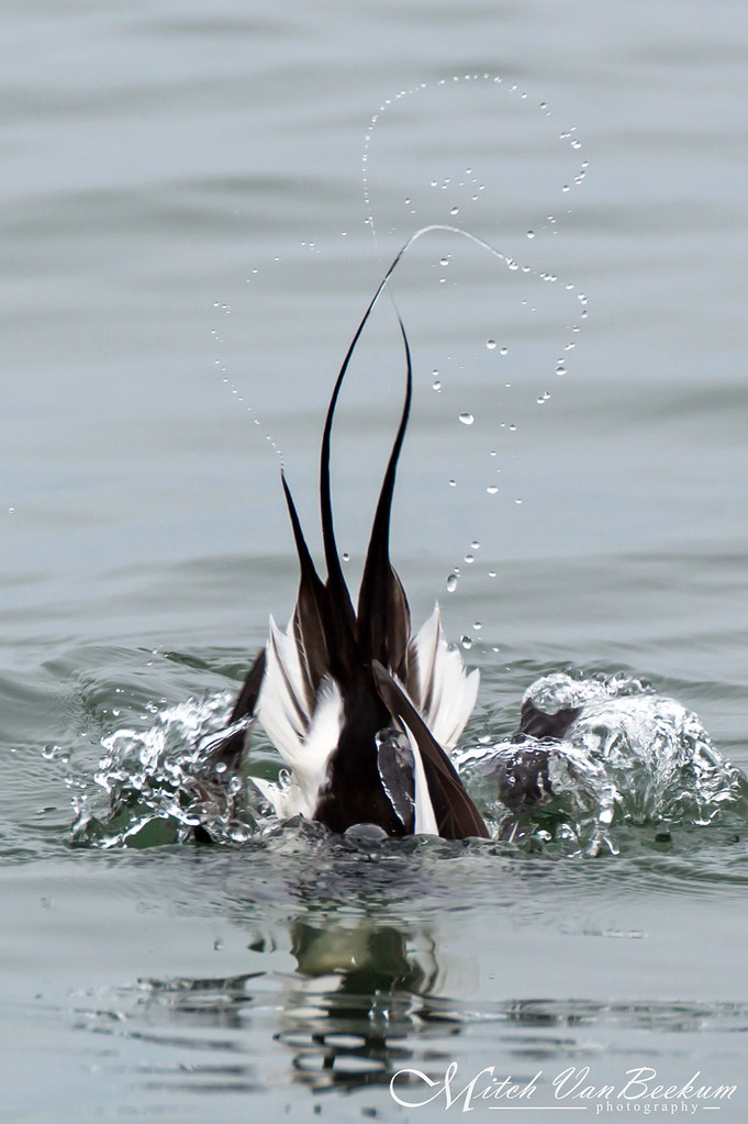 Water Dance (Diving Long-Tailed Duck)