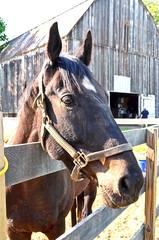 2014-05-19 (1) Miss Nicole's (JLeeFleenor) Tags: horses caballo cheval photography md photos barns uma maryland oldbarns cal ridinglessons cavallo cavalo pferd equestrian kuda alogo horsebackriding equine hest thoroughbreds soos hevonen cuddy paard cavall kon koin  hst ceffyl   ko faras hestur  perd croom  konj    capall beygir ottb horsepeople yarraman therapeuticriding missnicole pfeerd