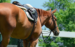 Hurry Up and Wait (hpaich) Tags: horse newjersey nj competition jersey chestnut horseshow equestrian saddle equine tack bridle compete equestrienne horseparkofnewjersey horseparkofnj middlesexcountyhorseshow