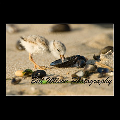 On the Halfshell (wildlifephotonj) Tags: birds pipingplover naturephotography shorebirds wildlifephotography pipingplovers pipingploverchick wildlifephotographynewjersey naturephotographynj
