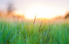 in the fields (daniel_huebner_photography) Tags: sunset summer sun nature field sunshine june