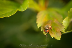 vlieg / fly (nature photography by 3620ronny.be) Tags: macro nature canon fly belgium belgie natuur insects limburg insecten naturephotography vlieg natuurfotografie macrofotografie canonmacroringlitemr14ex canon7d canonef100mmf28lmacroisusm 3620ronny