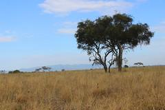 NAIROBI GAME PARK LANDSCAPE, KENYA 2014 (nordique72) Tags: animals landscape kenya nairobi lion zebra giraffe baboon wildebeast eland waterbuffalo warthog gamepark whiterhinoceros egyptiangoose osterich masaigiraffe ngonghills acaciatree thompsonsgazelle velvetmonkey crownbird animalsofkenya hardebeast maracoustork