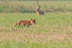 5639 (Arnaud Faucheron) Tags: small fox poil roux petit herbe pres renardeau renardroux