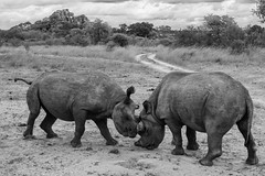 Impact (Brian Reiter) Tags: africa nikon safari zimbabwe nikkor rhinoceros blackrhinoceros dicerosbicornis 3570mmf28d imire d3s