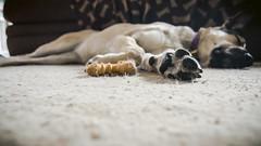 Lady-2 (AllieKF) Tags: dog sleepy sick tokina1116f28 canoneos70d