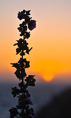 estivations (pbo31) Tags: sanfrancisco california sunset summer orange flower color silhouette nikon july sutrobaths 2014 d90