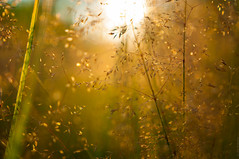 (Andrei Shevelev) Tags: light summer grass golden weed nikon dof meadow pasture shallow grassland herb herbage d90 sigma183518