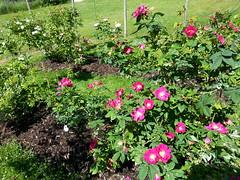 20140623_162325 - Officinalis Rose (HAKANU) Tags: red summer flower rose bush cabin sweden smland shrub summerhouse rosegarden rosebush officinalis rosarium