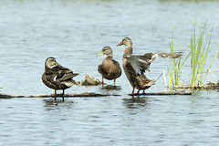 Canards au repos (monilague) Tags: bird heron water insect duck eau dragonfly vert marsh marais canard insecte oiseaux libellule héron grren