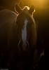 af1407_9891 (Adriana Füchter) Tags: sunset brazil horses horse beauty silhouette brasil rural caballo farm country symmetry burro fries jumento cavalos ameland impressed pferde cavalo pferd finest natures equine fazenda chevaux paard paarden sweetface equino slott equines friese friesche pferden mywinners friesische professionalequineimages snogeholms