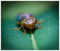 140712_0397-Edit (efstop1) Tags: macro bug insect nikon botanicalgarden leafhopper