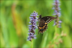 Butterfly on Pickerelweed (DavidWells254) Tags: canon butterfly nc durham purple violet northcarolina rest plantlife pickerelweed americantobaccotrail 600d 55250mm rebelt3i