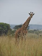 Nairobi National Park 6 (SqueakyMarmot) Tags: africa travel kenya nairobi giraffe 2014 nairobinationalpark