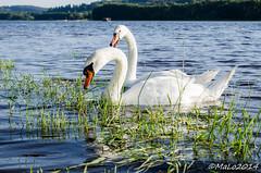 (fotohexe2013) Tags: swan nikon schwan lipno sdbhmen moldaustausee d5100