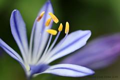 BLAUWE AGAPANTHUS (Anne-Miek Bibbe) Tags: blue summer flower garden blauw estate sommer nederland august zomer bloom tuin t agapanthus augustus bloem 2014 bloei bibber bibbe annemiekbibbe