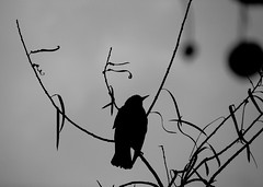 Equilibrio (carlos_ar2000) Tags: naturaleza bird nature argentina animal silhouette buenosaires branch dof ave silueta pajaro puertomadero rama