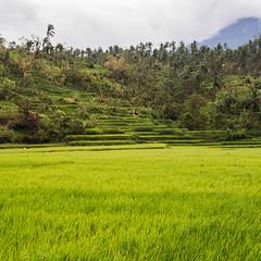Les Rizires Verdoyante (Montre ce qu'il voit!) Tags: landscape volcano asia rice south philippines terraces paisaje east filipino asie mayon bicol paysages rizires volcan legazpi sudest pentaxk5 ilobsterit julienvidal