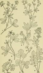 Anglų lietuvių žodynas. Žodis geum canadense reiškia <li>geum canadense</li> lietuviškai.