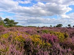 Common Heather and Western Gorse at Dunwich Heath, Suffolk (sandlings) Tags: suffolk heather heath heathland gorse dunwichheath callunavulgaris ulexgallii westerngorse sandlings