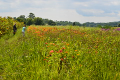 Picking flowers (Krasivaya Liza) Tags: summer nature rural nikon saratoga farming upstate hudson newyorkstate claverack