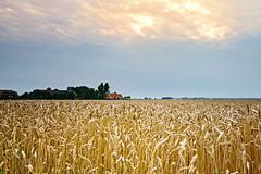 Grain at dawn-  (Michel Lammerse - Foto Propaganda Photography) Tags: holland field farming grain harvest thenetherlands groningen agriculture flatcountryside