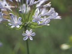 (Polotaro) Tags: flower nature pen olympus   zuiko      mzuikodigital45mmf18 epm2