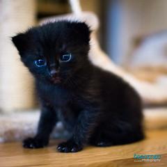 DSC_2016 (Breatnac Photography) Tags: baby black cute cat photography big eyes kitten pretty little small sparkle breatnac