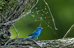 Indigo bunting harvests insects trapped in a spider's web... (A wing and a prayer...) Tags: explore buntings indigobuntings bluebuntings malebluebuntings