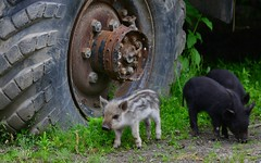 Pigs 10 (orientalizing) Tags: desktop animals georgia pig village pigs mammals ungulates featured domesticates enguririver