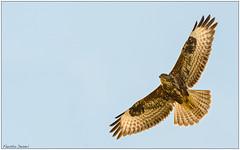 Poiana (Fausto Deseri) Tags: wild nature birds wildlife buteobuteo commonbuzzard poiana nikontc17eii nikkorafs300mmf4 nikond7100 campagnasantagatabolognese