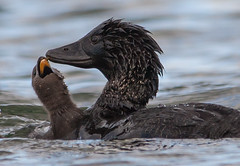musk duck (Biziura lobata)-2-4 (rawshorty) Tags: birds australia canberra act rawshorty