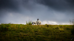 Happy Grazing (HAZIZK) Tags: nikon skies gloomy sheep yorkshire ngc meadows dales nationalgeographic d5100
