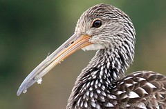 Limpkin (Aramus guarauna) (Paul Hueber) Tags: bird nature animal canon florida wildlife aves handheld 75300 seminolecounty limpkin aramusguarauna lakelotuspark