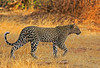 Walk the walk! (Rainbirder) Tags: kenya samburu africanleopard pantherapardus rainbirder