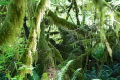 Array of the mosses, front and back (daveynin) Tags: tree green moss rainforest nps branches olympic deaftalent deafoutsidetalent deafoutdoortalent