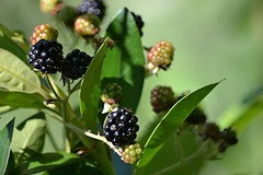 Blackberries are ripening (jungle mama) Tags: seattle dog jack pig farm goat blackberries snoqualmie