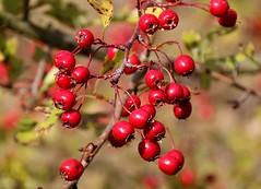 Hawthorn Tree Berries Hawthorn Berries