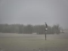 Le Marécage / the Marsh (!Michel Grenier!) Tags: wild mist fog canon foggy silence swamp bleak marsh ccd marais emptiness greatblueheron compact brume desolation vide désert sauvage morne désolé grandhéron désolation mirrorless brumeux parcdelafrayère canong10 lasaulaie compactexpert