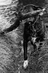 That Stick.. ([ Jaso ]) Tags: bridge dog playing black water river scotland labrador aberdeenshire pentax path stick k3 inverurie riverdon