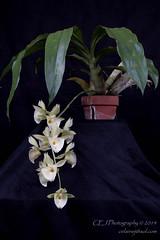 CEJ_2014-4563_1_AOSJud_20140727_IMG_0113_CEJ_W.jpg (celainej) Tags: white snow plant orchid flower green yellow little caroline marks clay pileatum aos ctsm 20144563