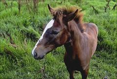 Cavalinho (Mazé Parchen) Tags: animal cavalo equus potro potrinho mazé mazéparchen